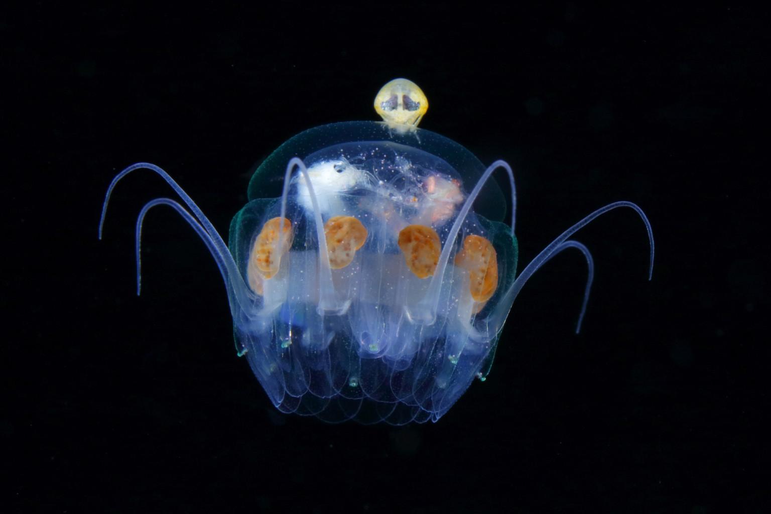 Hyperiidea riding the jellyfish. It's lke an alien maneuvering a spaceship/Jellyfish umbrella width 20mm