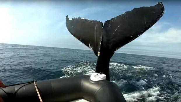 baleine-bosse-bateau-excursion-nouvelle-ecosse