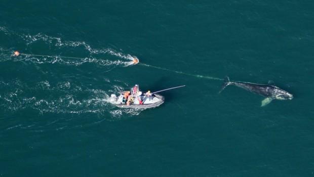 baleine-noire-atlantique-nord-filet-peche-3