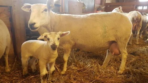 moutons-du-large