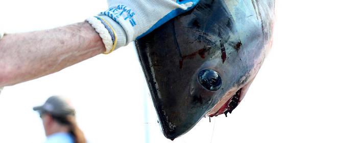 requin-3