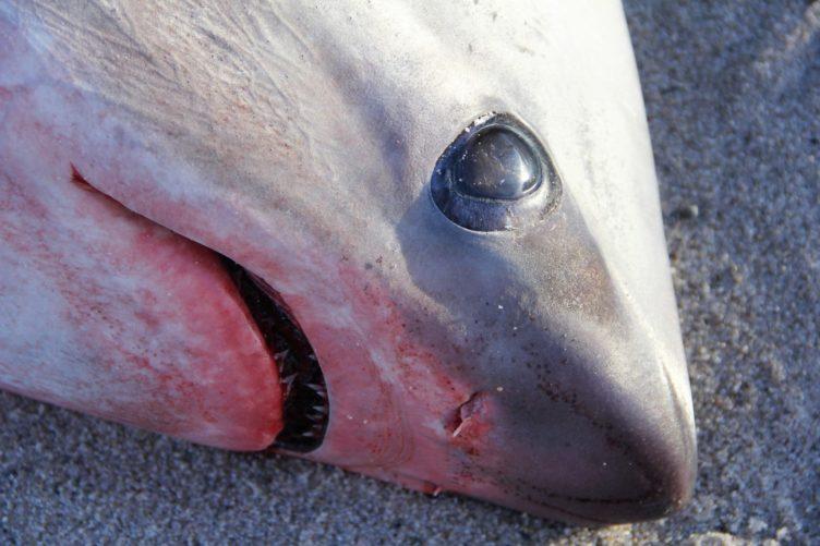 requin-e1515071734127