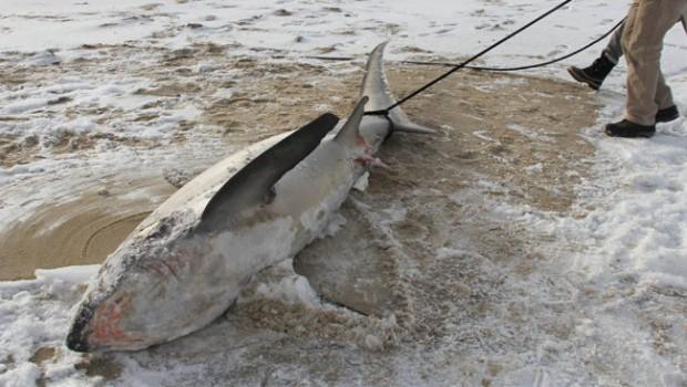 vignette-requin-congelé-1-768x367