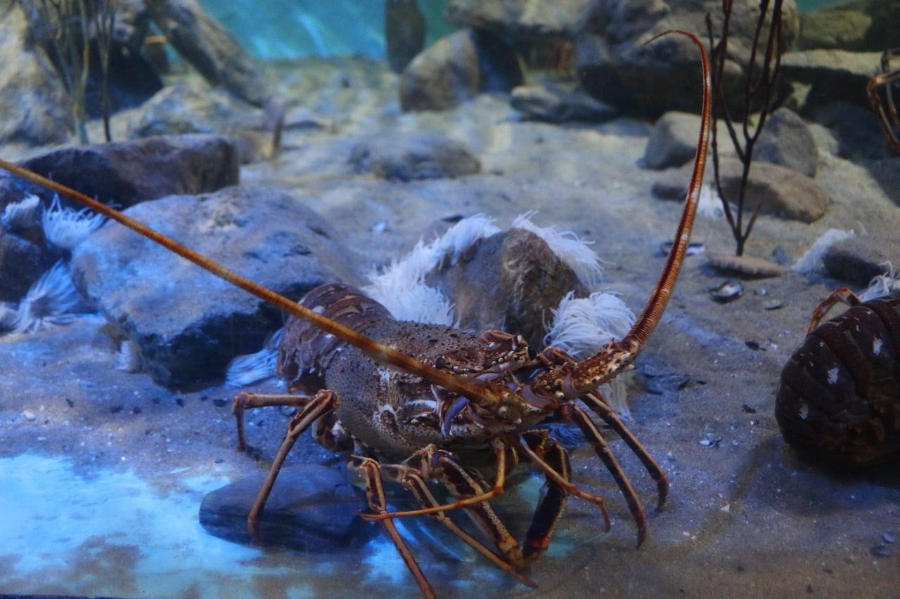 Les homards pourraient inspirer les armures du futur. Crédits : Pixabay