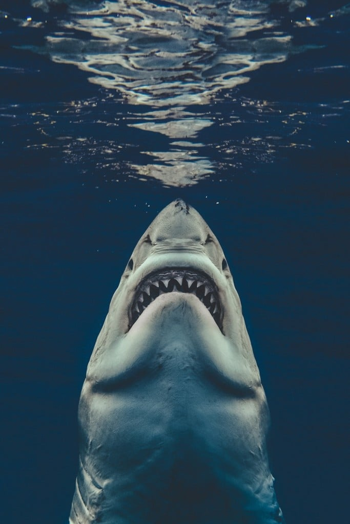 requin-photographie-dents-mer-euan-rannachan-1