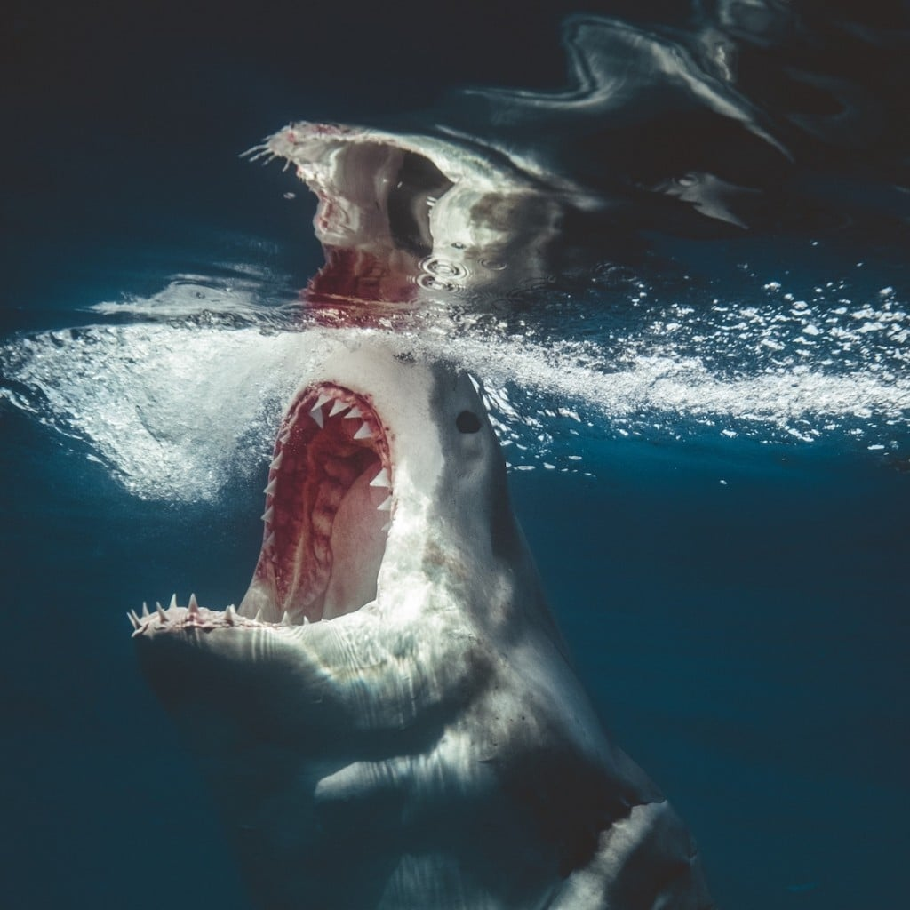 requin-photographie-dents-mer-euan-rannachan-4