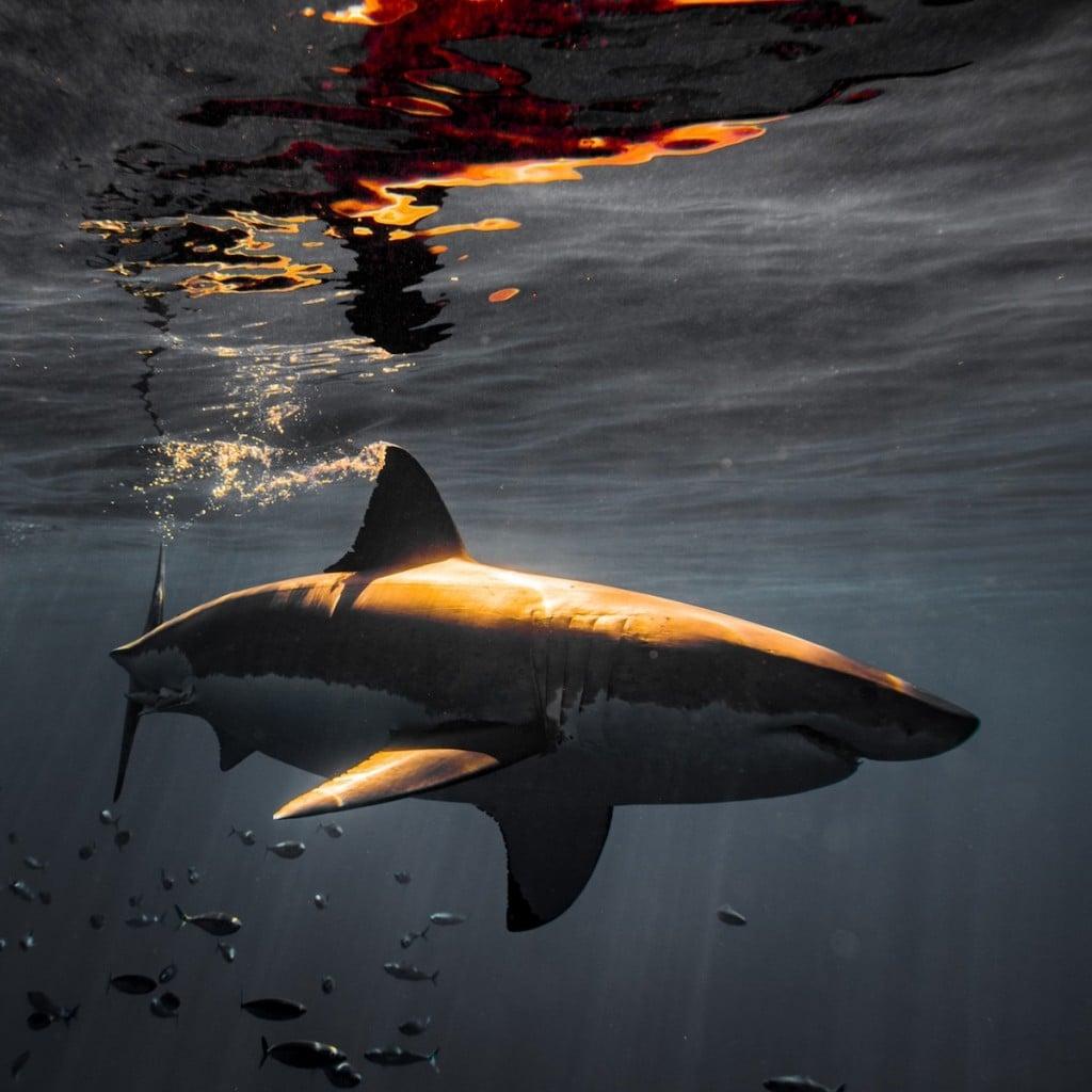 requin-photographie-dents-mer-euan-rannachan-8