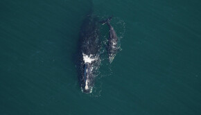 Right-whale-Catalog-2413-Nauset-and-calf-off-Sapelo-Island-GA-on-December-28-2020.-Credit-Clearwater-Marine-Aquarium-Research-Institute-NOAA-permit-20556-01