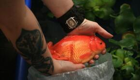 800px-Giant_Oranda_Goldfish